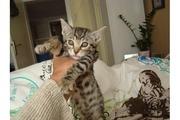 Саванна котята Дети Саванны на продажу