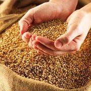 Закупаем пшеницу  ДОРОГО по зерновой расписке, самовывозом 8777, 0531200