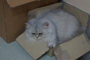 Кошечка породы персидская шиншилла ищет на вязку кота