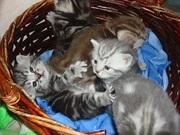 Котята как в рекламе Вискас,  отличный подарок любимым