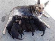 Продаю щенков немецкой породы.