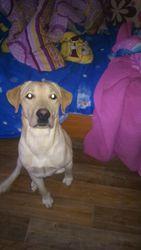 Продам собаку лабрадор с ветеринарной книжкой.добрый.инноваций.надежны