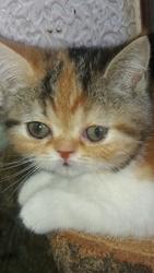 Котенок девочка экзоточка